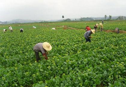 大型规模蔬菜种植基地