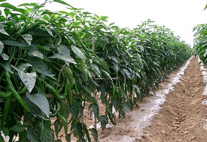大型青椒种植基地
