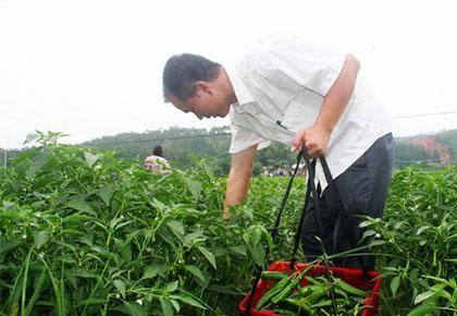 青菜种植基地