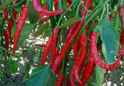 辣椒种植基地