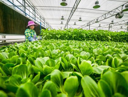 采摘蔬菜检测